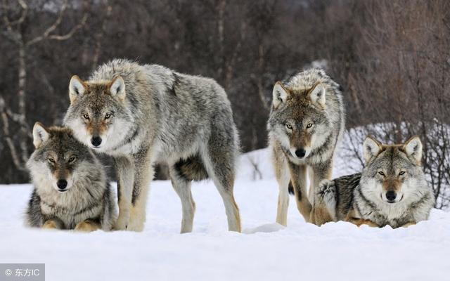 狼的10大处事哲学,读懂了,受用一生!